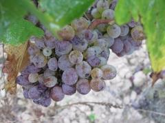 Chenin moelleux vin de Chinon blanc